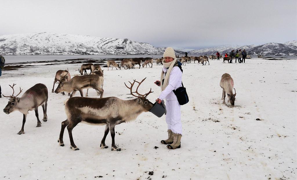 Karmienie reniferów w obozie Saamów w Tromso