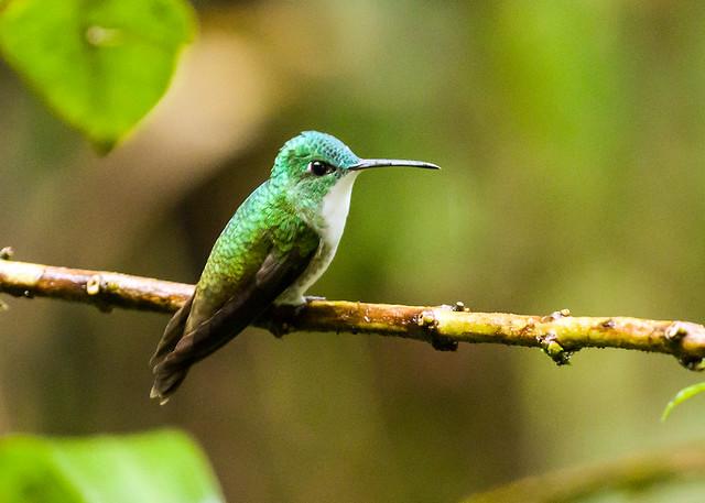 0P7A1266  Andean Emerald Hummingbird, Ecuador
