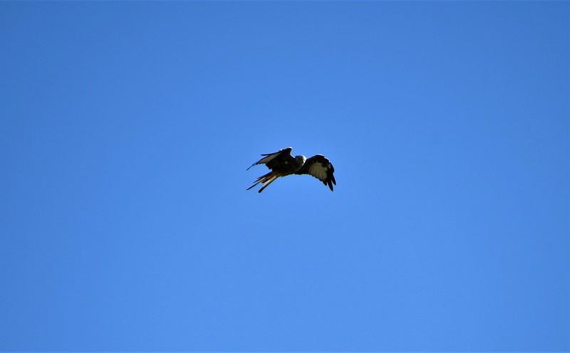 Red Kite 29.09 (4)
