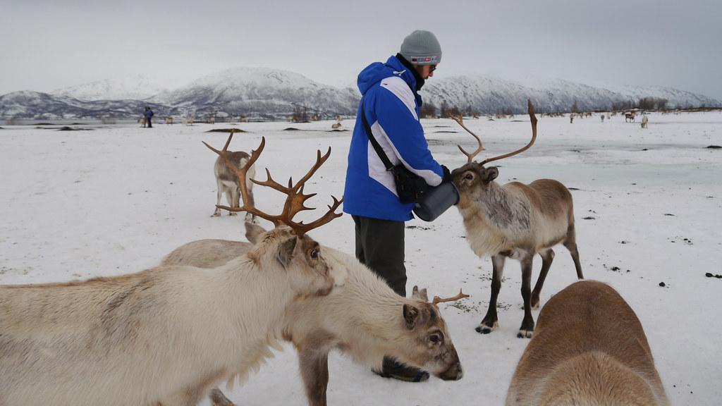 Karmienie reinferów w obozie Saamów w Tromso