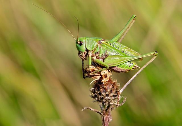 Wartbiter. { Decticus verrucivorous }  Male.