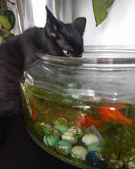"""""""Don't mind me guys, just here for the water"""" #thirsty #cats #CatsOfInstagram #kittens #goldfish #fishbowl"""