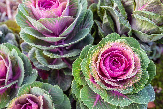 Wet ornamental cabbages from close