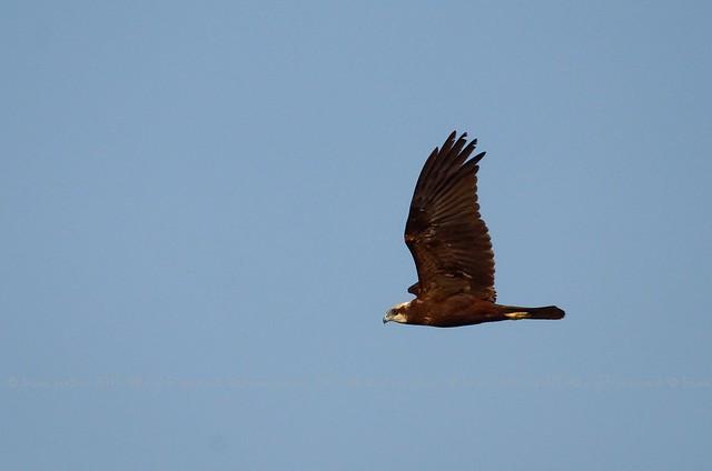Marsh Harrier, Busard des roseaux (Circus aeruginosus) - Lago di Fogliano, Parco nazionale del Circeo, ITALY