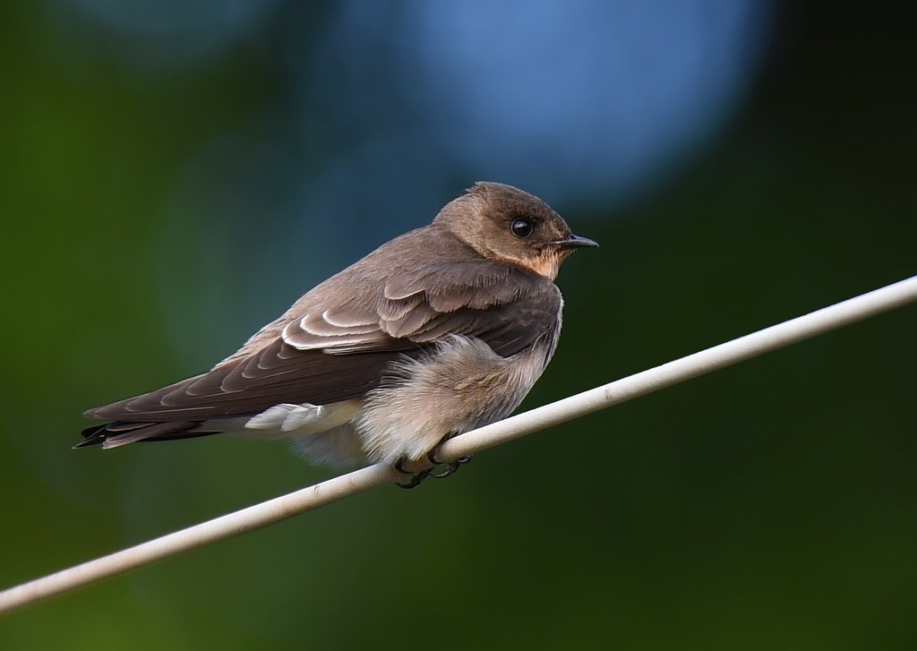 Andorinha-serradora / Southern Rough-winged Swallow