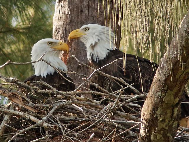 Bald Eagle Pride and Jewel 4-20190929