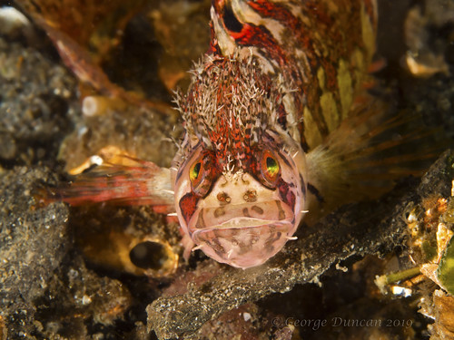 puget sound mosshead warbonnet sunrise beach ocean underwater fish scuba diving