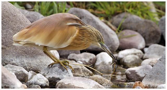 Squacco Heron - Ardeola ralloides.
