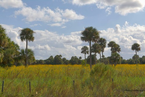 canon kathrynlouise florida fields palmtrees sunflowers swampsunflowers helianthusangustifolius geneva landscape nature robertchunter