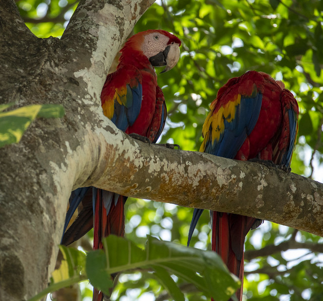 Macaws - Limonal, Costa Rica