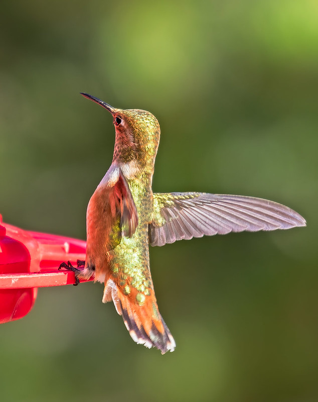 Broad-tailed-Hummer-60-7D2-090119