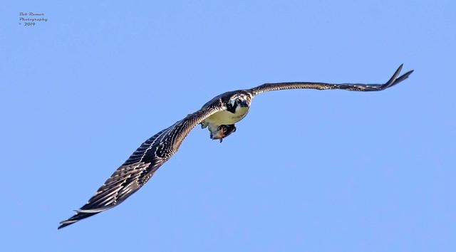 Osprey with Fish.