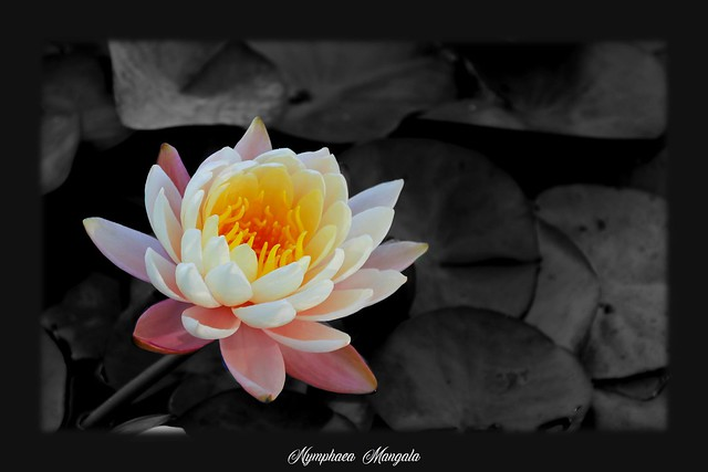 Water lily…