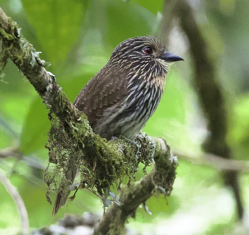 Black-streaked Puffbird_Malacoptila fulvogularis_Manu road_Ascanio_ 199A9743