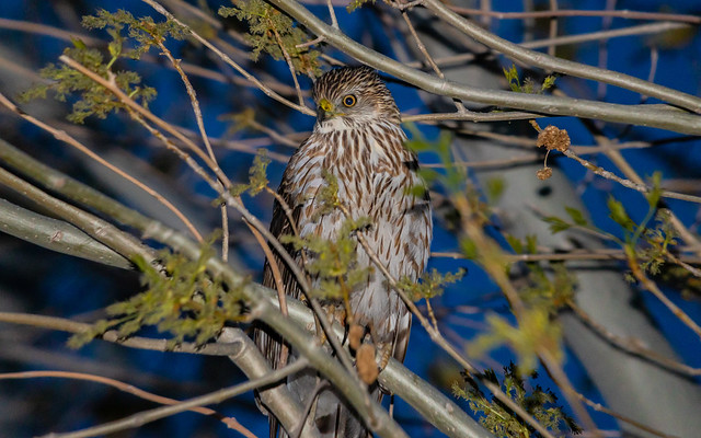 Coopers Hawk From Earlier This Year Who Was Sitting In My Backyard