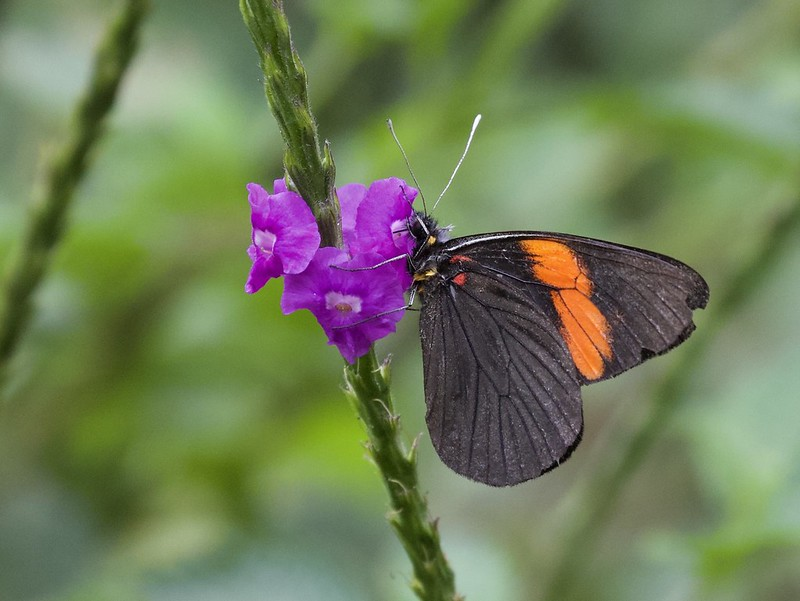 Butterfly_Manu Road_Ascanio_199A9774