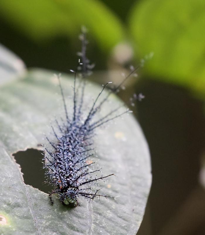 Caterpillar_Ascanio_Manu_199A1836