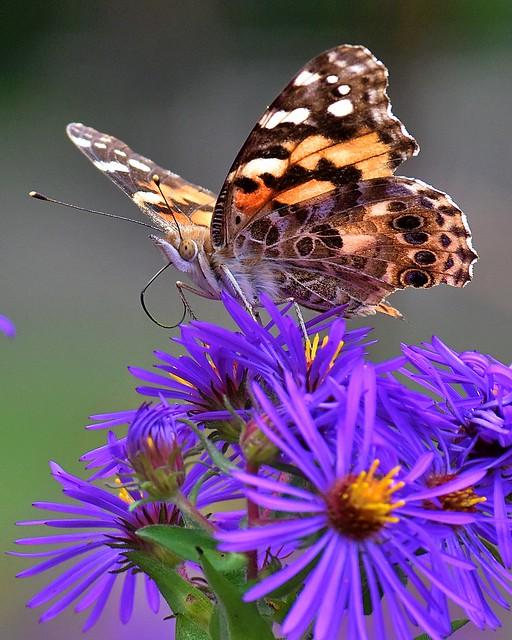 Butterfly, Inniswood Metro Gardens 9/29/19