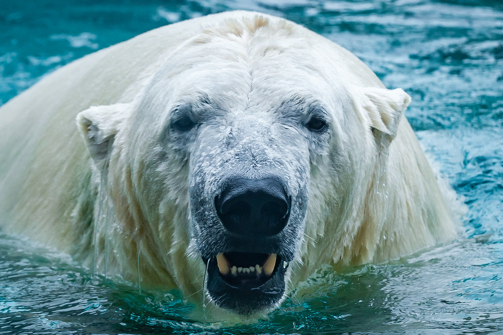 Polar Bear - real close