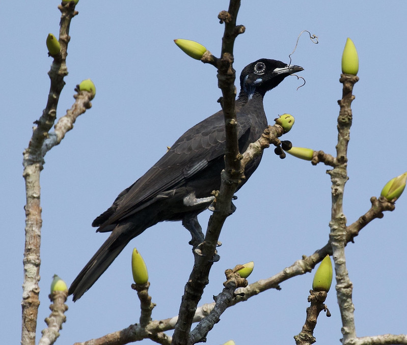 Bare-necked Fruitcrow_Gymnoderus foetidus_Manu_Ascanio_199A3200