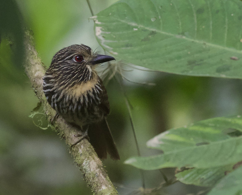 Black-streaked Puffbird_Malacoptila fulvogularis_Manu road_Ascanio_199A9753