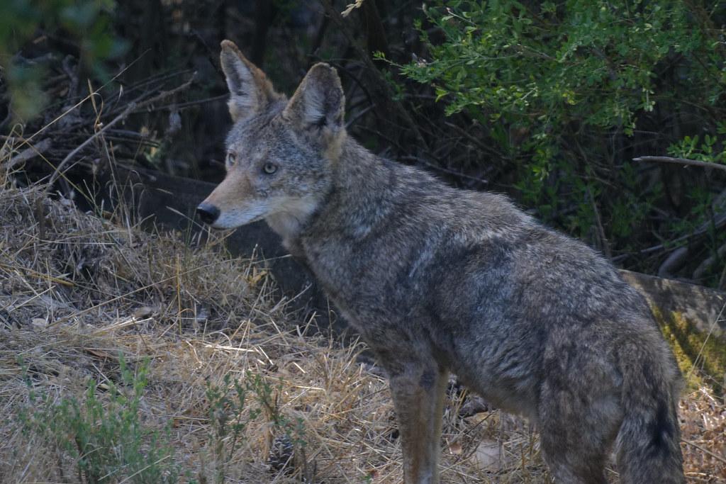 Alert Coyote | Spotted in my backyard. | wynner3 | Flickr
