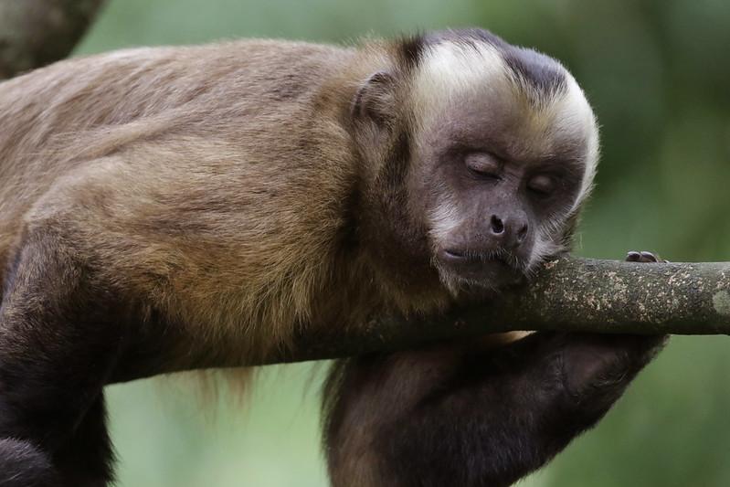 Brown Capuchin_Cebus apella_Manu_Ascanio_199A0586
