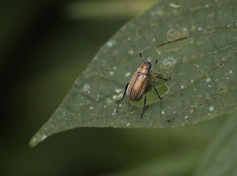 Beetle_Ascanio_Manu_199A0801