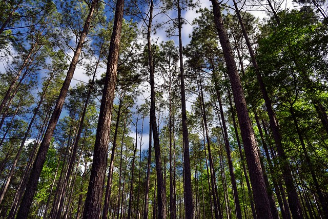We Are Storytellers; This is My Story of the Forests (Congaree National Park)