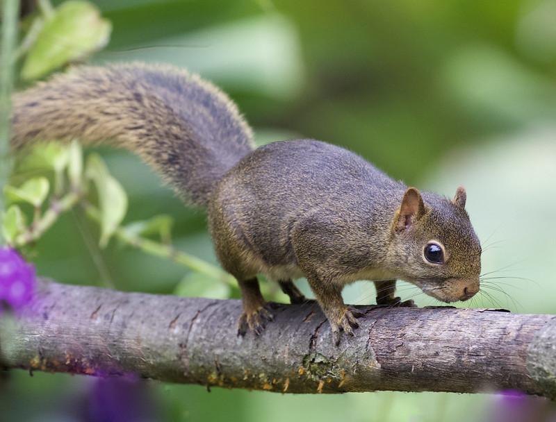 Amazon Dwarf Squirrel_Microsciurus flaviventer_Manu_Ascanio_199A9818