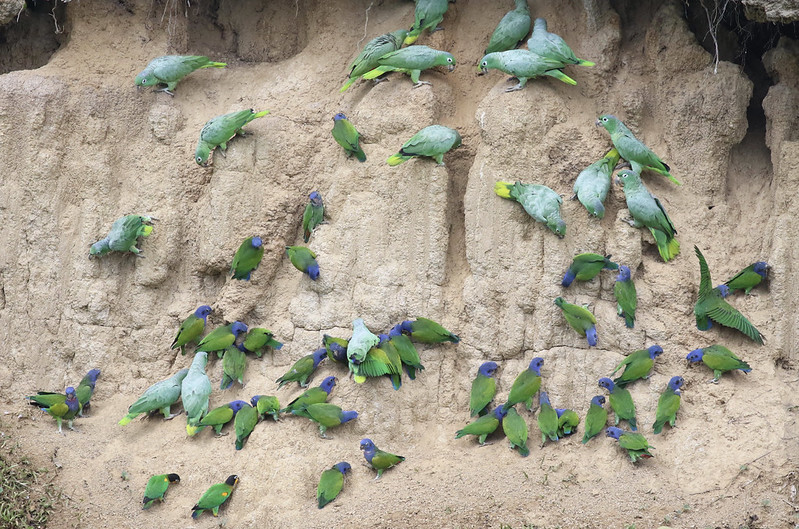 Blue-headed Parrot_Orange-cheeked Parrot and Mealy Parrot_Manu_Ascanio_199A2083