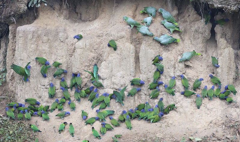 Blue-headed Parrot_Mealy Parrot_MAnu_Ascanio_199A20869