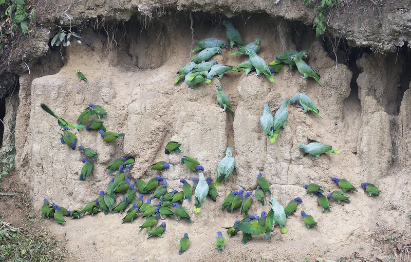 Blue-headed Parrot_Mealy Parrot_MAnu_Ascanio_199A2080