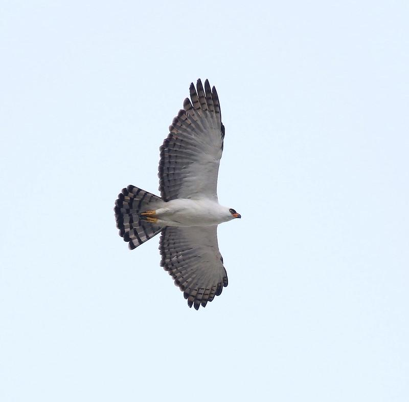 Black-and-white Hawk-Eagle_Spizaetus melanoleucus_Manu_Ascanio_199A1918
