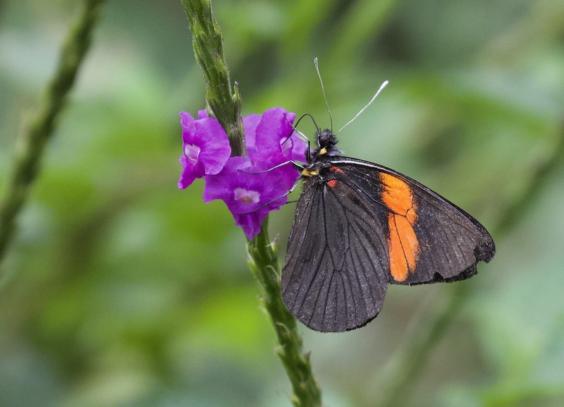 Butterfly_Manu Road_Ascanio_199A9769