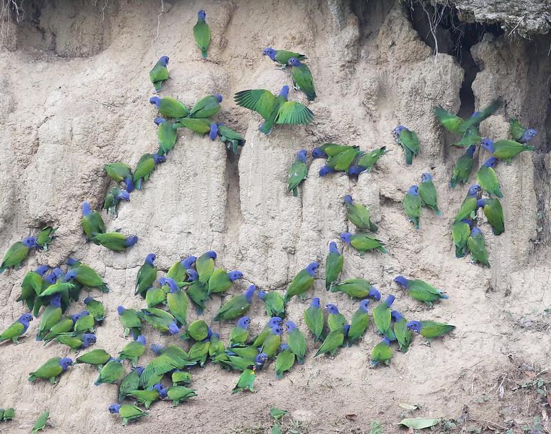 Blue-headed Parrot_Pionus menstruus_Manu_David Ascanio_199A2044