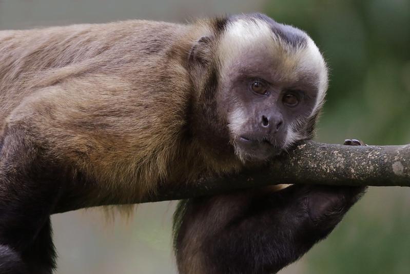 Brown Capuchin_Cebus apella_Manu_Ascanio_199A0585