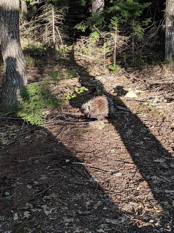Ein Stachelschwein.