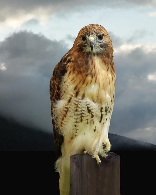 New York Hawk