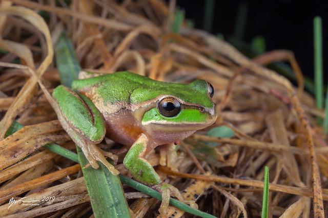 New England Tree Frog