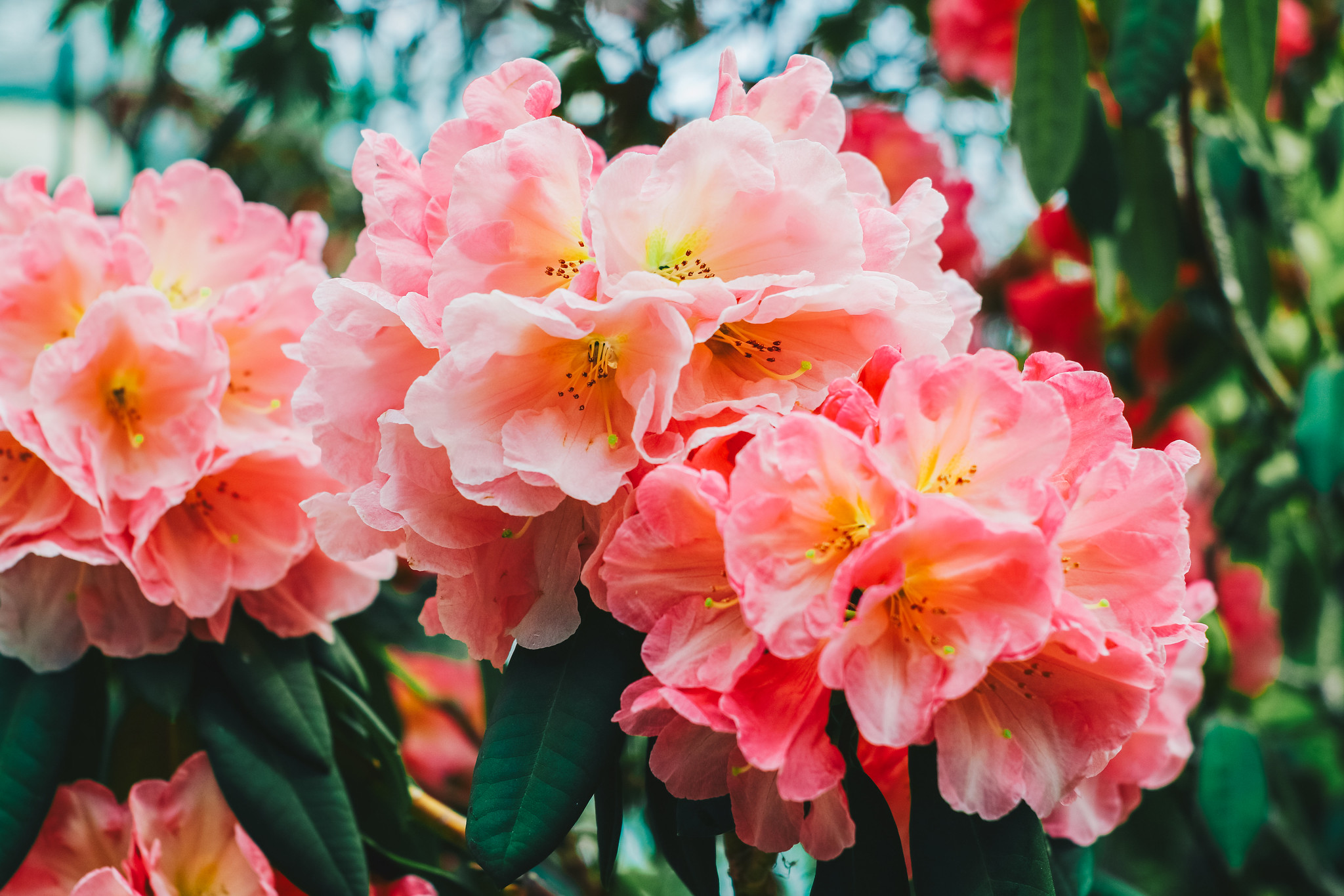 Rhododendron Mount Loma Prieta