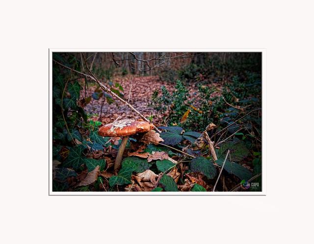 """""""Les champignons ressemblent aux péchés : pour les déguster, il faut prendre des risques."""" De  Hervé Bazin"""