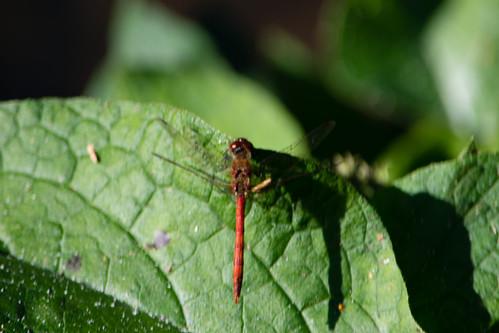Common darter, Wightwick Manor pond