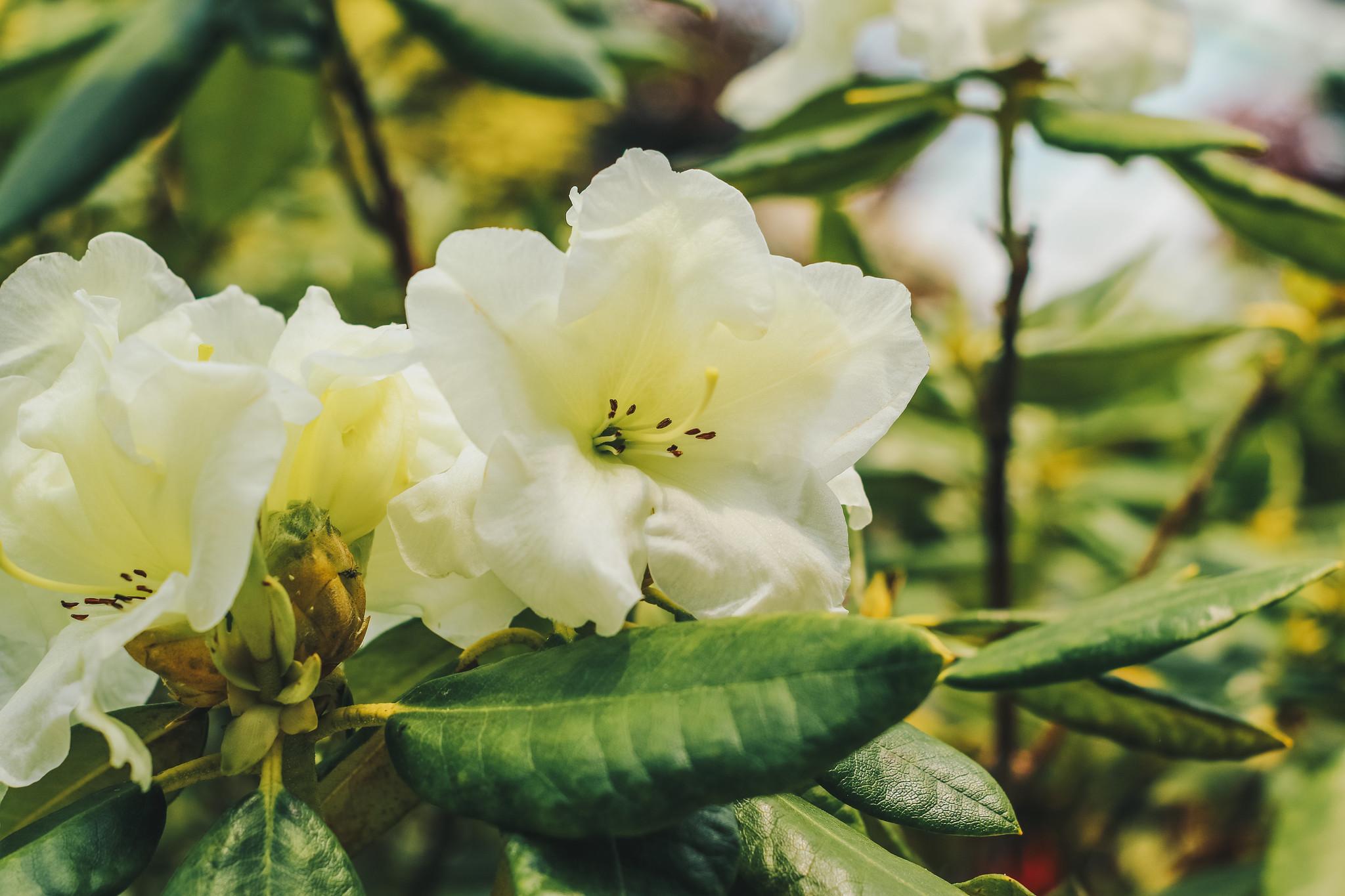 Rhododendron Meadow Lemon