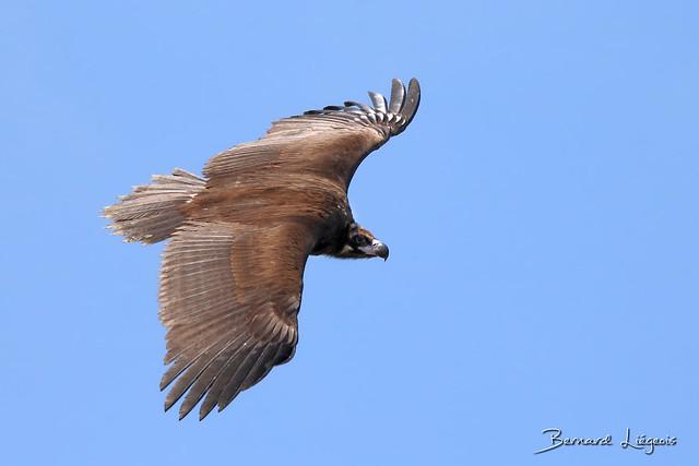 [In explore] Aegypius monachus   Vautour moine   Monk Vulture   Buitre Negro   Mönchsgeier