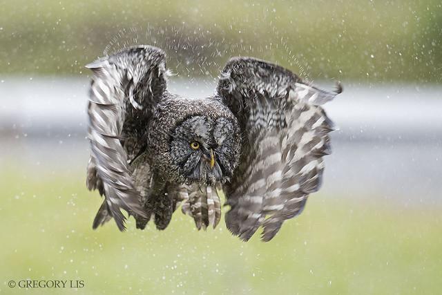 Wet Great Gray Owl Flying