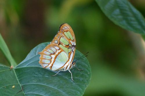 Malachiet vlinder  Explore 20190930