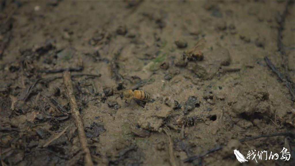 蜜蜂像垂死的蟑螂一樣,在地上躁動四處爬行,更多的是在蜂箱裡外,成千上萬隻的死蜂。
