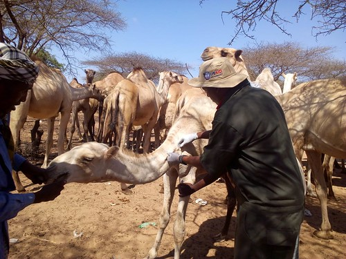 Treatment of camels in Garissa, Kenya