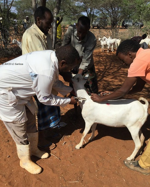 Private and government veterinarians administer vaccine to a goat in Garissa, Kenya